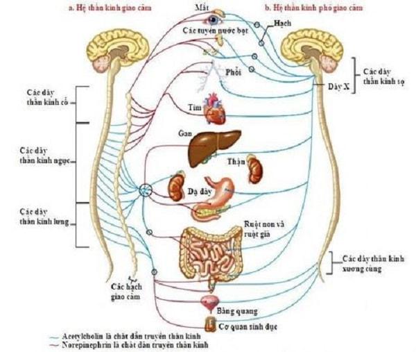 cách chữa bệnh rối loạn thần kinh thực vật 1